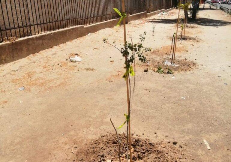 36 de 40 árboles plantados por el Municipio de Cerro Navia fueron quebrados